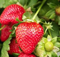 Strawberry Plugs
