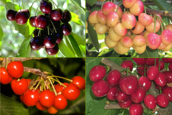 Cherry Combination Tree.