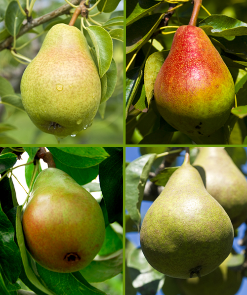 Combination Fruit Trees