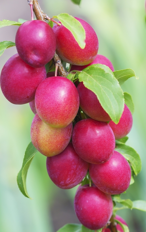 AU Rubrum Plum Tree. Partially self fertile. Large, sweet and juicy plums. 650 chill hours. Zones 5-9.