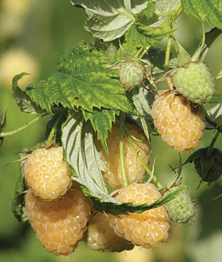 Anne Raspberry. Golden yellow fall bearing variety. Pairs wonderfully with Heritage. Its excellent size, appearance and sweet flavor make it a great choice for a fall bearing golden raspberry. Zones 3-8.