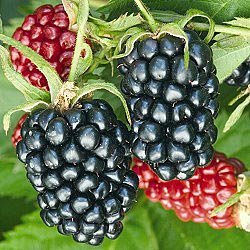 Apache Blackberrry. The largest, thorn-less, upright blackberry available. Excellent quality, cold hardy, high yields. Late season. Zones 6-9.