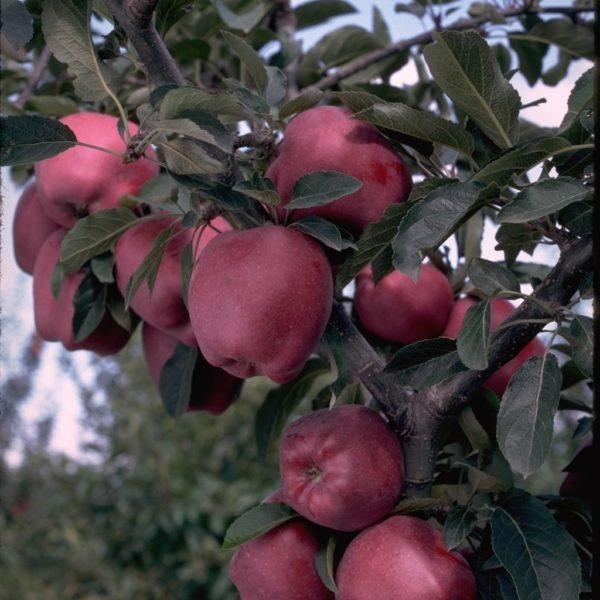 Arkansas Black Apple Tree I O Ison S Nursery Amp Vineyard
