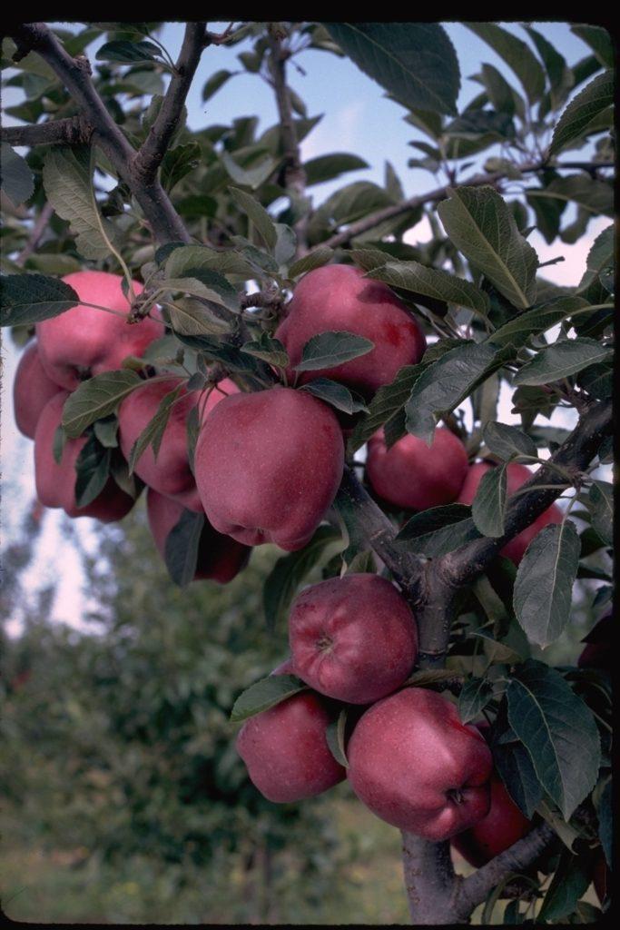 Arkansas Black Apple Tree Ison S Nursery Amp Vineyard