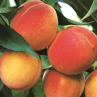 Bell of Georgia Peach Tree. Freestone. Large fruit. A favorite. Heavy producer, Great flavor. Ripens in July. 800 chill hours. Zones 5-8.