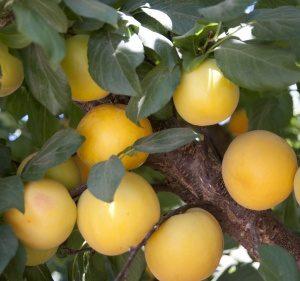 Hybrid Fruit Trees