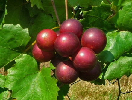 Big Red Muscadine. Female. Huge grapes. 20% sugar.