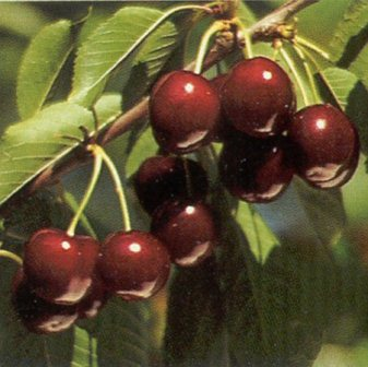 Bing Cherry Tree. One of the most popular. Large fruit that is firm and sweet. Pollinate with Black Tartarian. 900 chill hours. Zones 4-8.