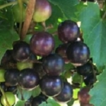 Black Fry Muscadine. Female. 23% sugar, Large fruit. Cold hardy. Mid to late season.
