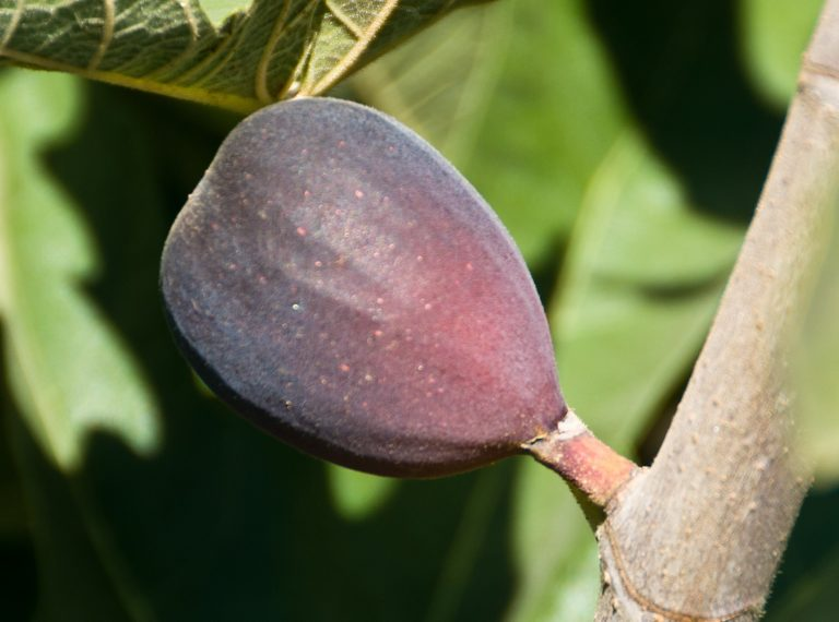 Black Mission Fig. One of the most popular figs. Medium to large, pear shaped fruit. Flesh is strawberry colored and good flavor. Good for fresh eating or dried fruit.