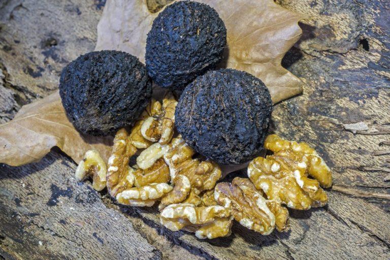 Black Walnut Tree. Self-fertile. Large nuts. Zones 5-9.