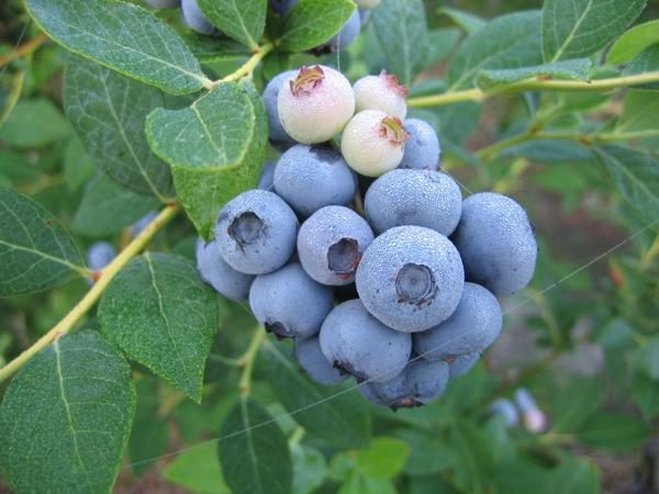 Brightwell Blueberry. Early season. Average size. Zones 6-9.