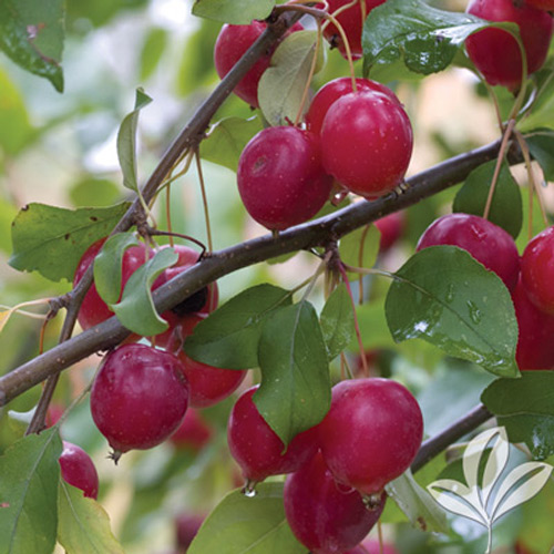 Crab Apple Tree Without Fruit