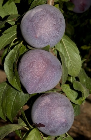 Candy Heart Pluerry. Japanese plum and sweet cherry in its parentage, is a taste-test proven treat for fruit lovers. Very sweet, with a wonderfully unique flavor. This variety has an extended hang time, reaching peak ripeness around mid-August . Pollinate with Sweet Treat Pluerry. 500 chill hours. Zones 6-9.
