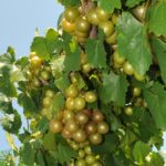 Carlos muscadine on the vine.