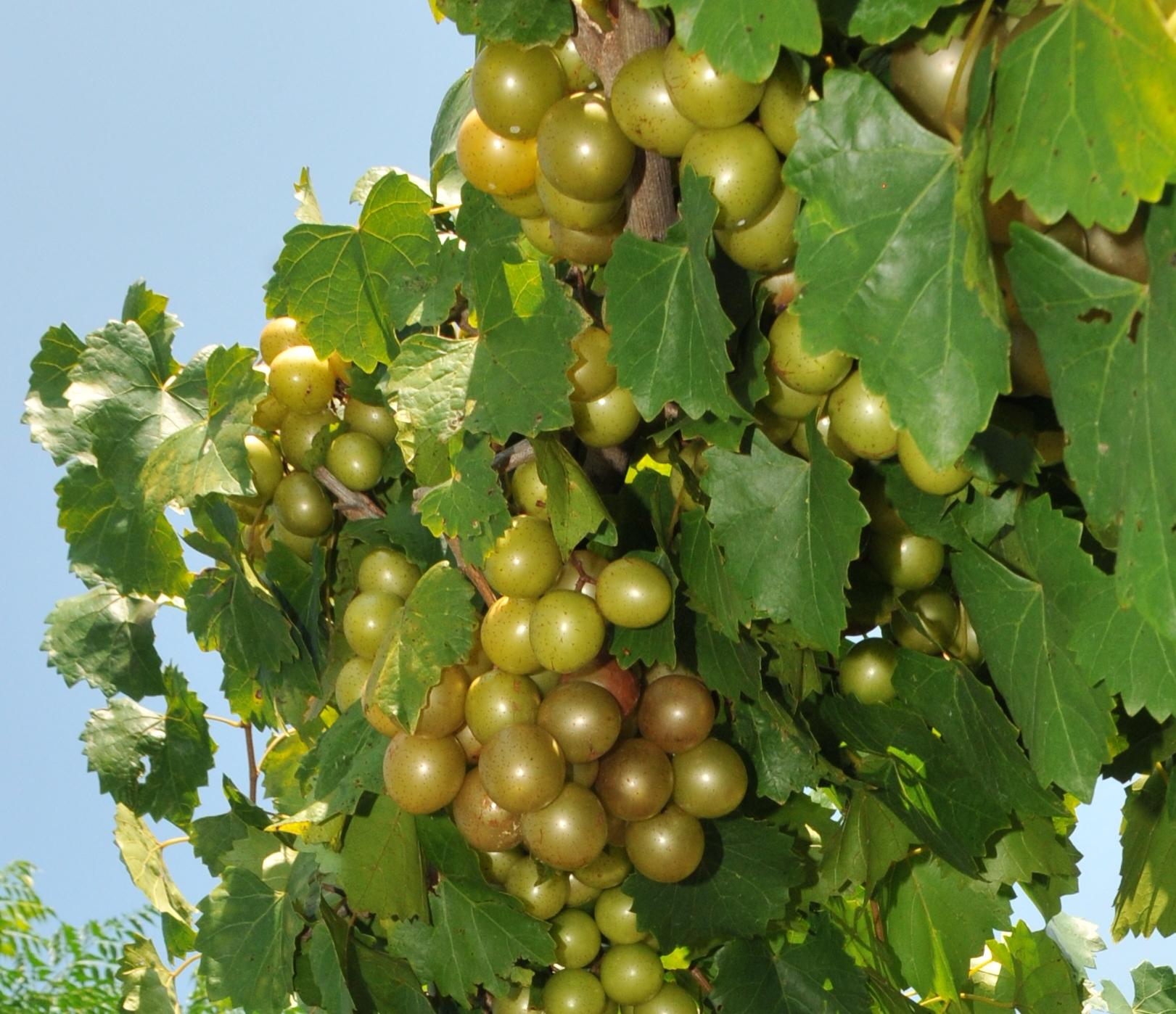 Carlos Muscadine Vines Ison S Nursery Vineyard