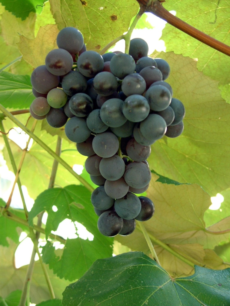 Concord Bunch Grape. Seeded. Best known and most widely planted. Ripens late Sept. Zones 4-9.