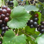 Creek Muscacdine Self-fertile. Sweet purple grapes. Ripens late season.