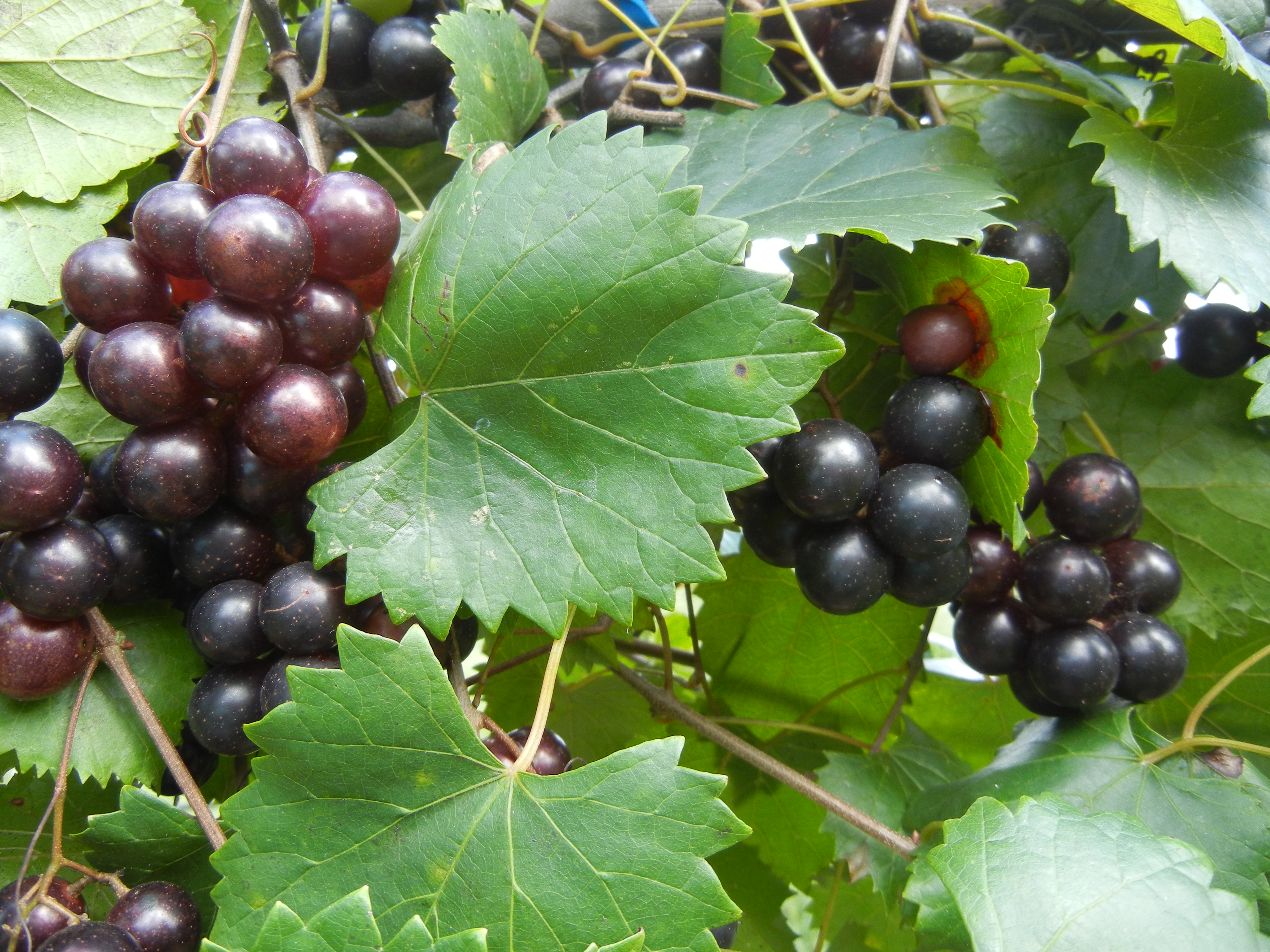 Creek Muscacdine Self-fertile. Sweet purple grapes. Ripens late season.