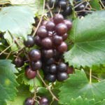 Creek muscadine. Black self-fertile. sweet berries that are higher in acid than most. Late season.