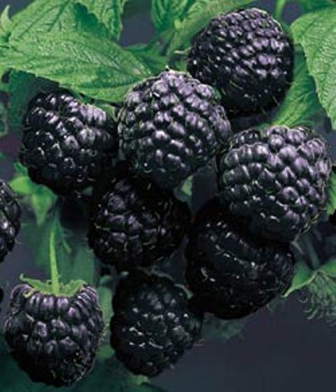 Cumberland Black Raspberry. Trailing berry with excellent sweet rich delicious flavor. Very large, round seedless berries. Bears through late season. Zones 4-9.