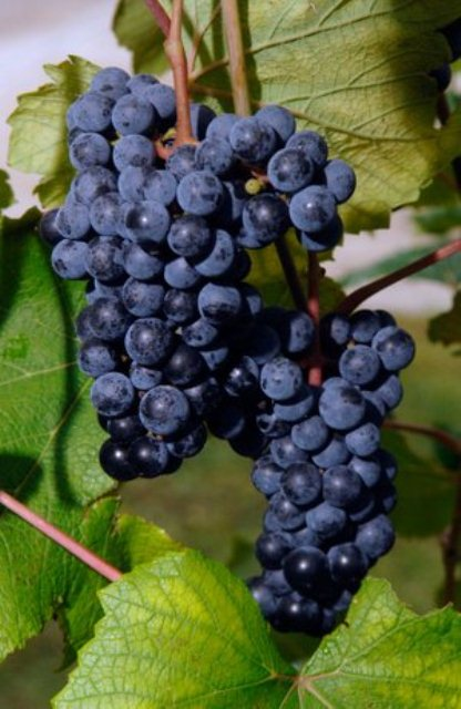 Cynthianna Bunch Grape. Seeded. Medium to small clusters. Makes and expensive red wine. . Zones 4-7.