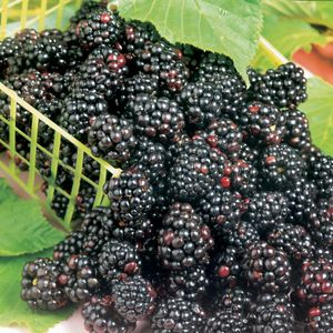 Dewberry Similar to a blackberry but canes lay more on the ground. Fruit is very good. Zones 5-10