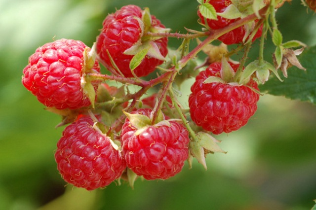 Dorma Red Raspberry. Trailing heavy producer of excellent quality berries. Early season. Zones 5-9.