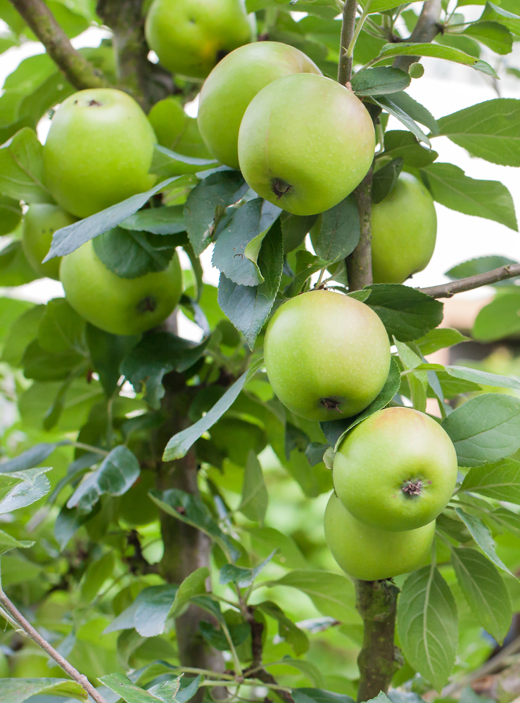 Dorsertt Apple Tree. Pollinator.  Medium to large fruit. Firm, smooth, crisp flesh with sweet-tart flavor. Great for deep south. Ripens mid-June to early July. Zones 5-9. Code A