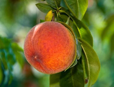 Early Grande Peach Tree. Semi-freestone. Large peach. Firm, excellent flavor, fine texture,. Heavy producer. Mild winter peach. Ripens in June. 275 chill hours. Zones 5-9