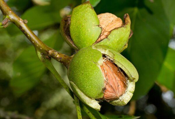 Carpathian English Walnut Tree Ison S Nursery Amp Vineyard