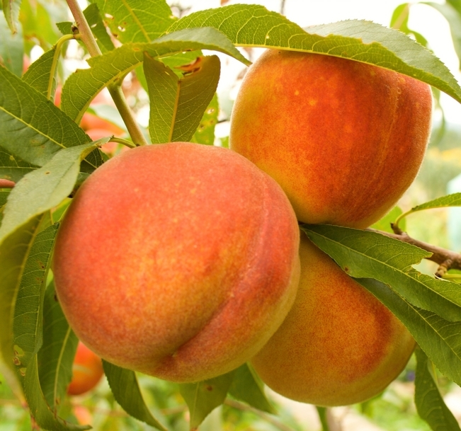 Florida Crest Peach Tree. Flavorful, medium size peach. Ideal for the deep south. Ripens in June. 400 chill hours. Zones 6-10.