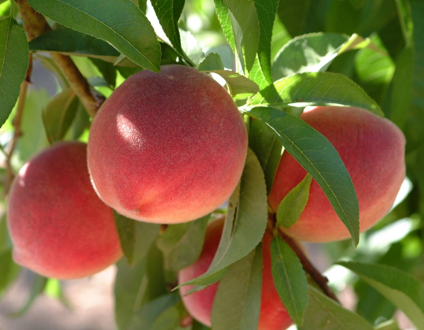 Florida King Peach Tree. Large peach, heavy bearer. Great for deep south. Fruit is firm and very sweet. Ripens in June. 400 chill hours. Zones 6-9.