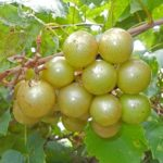 Fry muscadine. Bronze-female. Large fruit, ripens early,cold hardy.
