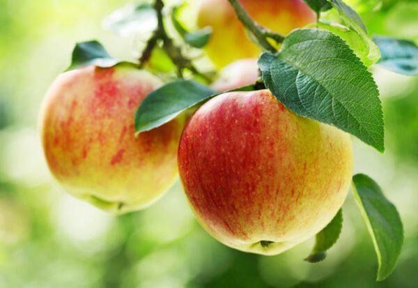 Gala Apple Tree. Pollinator. Medium size. Flesh is firm, crisp, sweet and juicy. Ripens late Aug-mid-Sept. Zones 5-7. Code B.