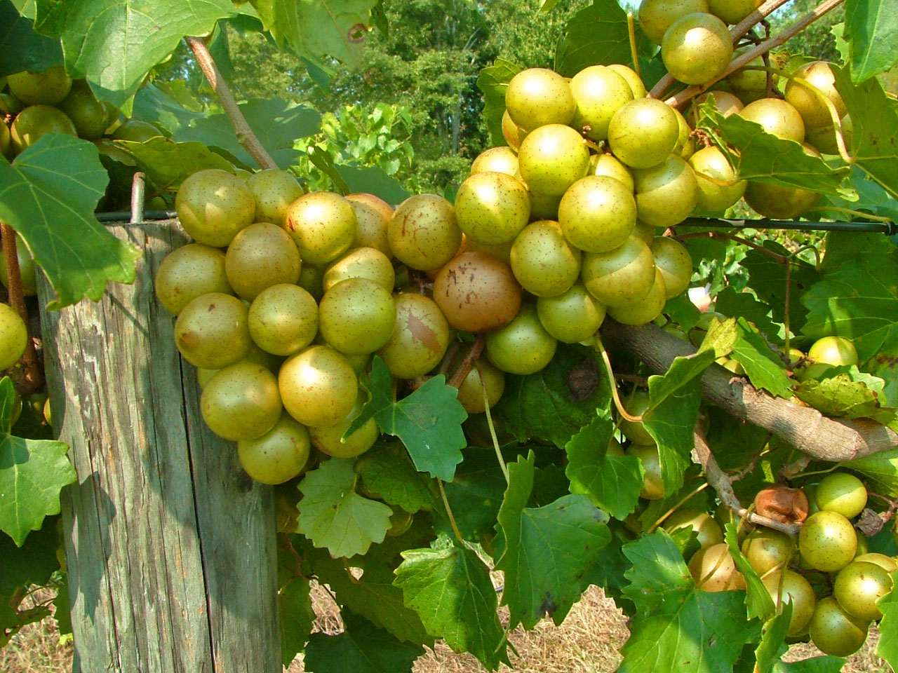 Granny Val Muscadine. Self fertile. 18% sugar. Heaviest producing variety. Ripens mid to late season