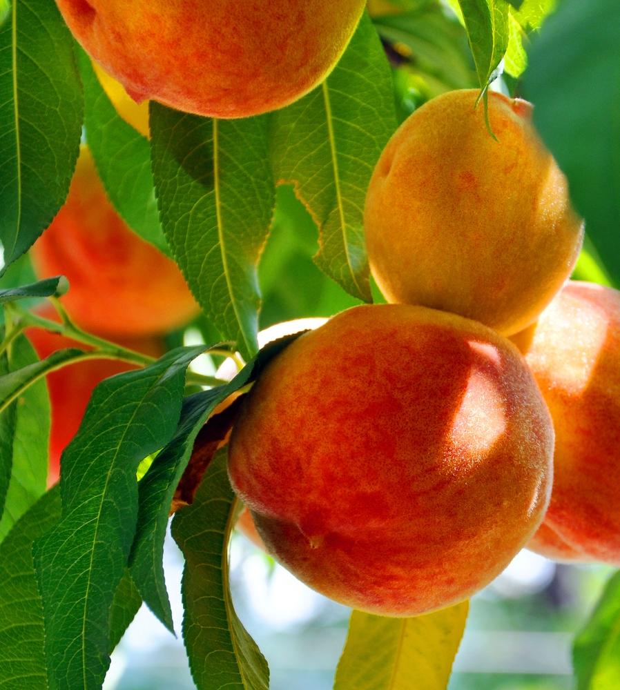 Hale Haven Peach Tree I O Ison S Nursery Amp Vineyard