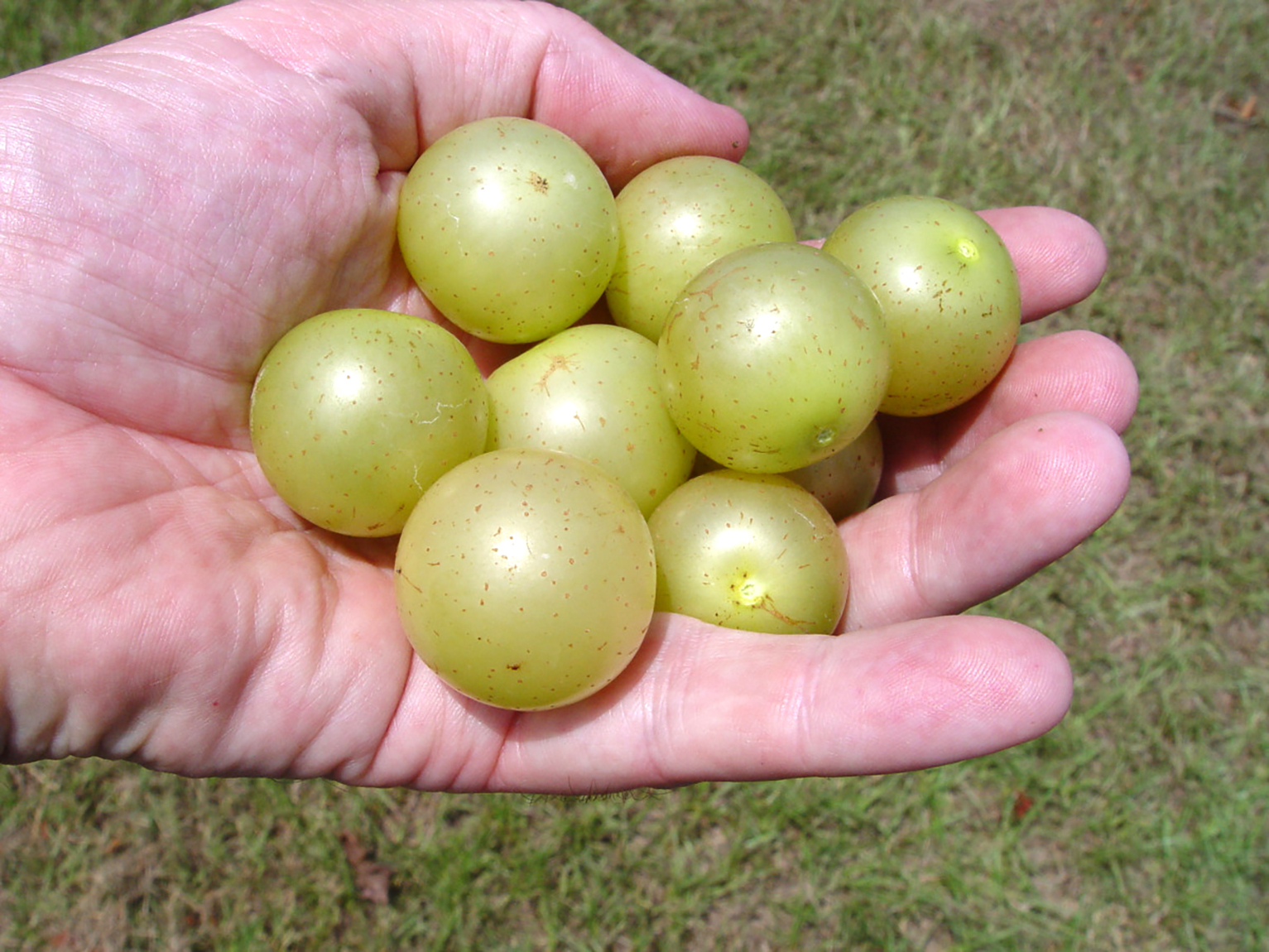 Hall muscadine. Bronze self-fertile. New release from UGA.