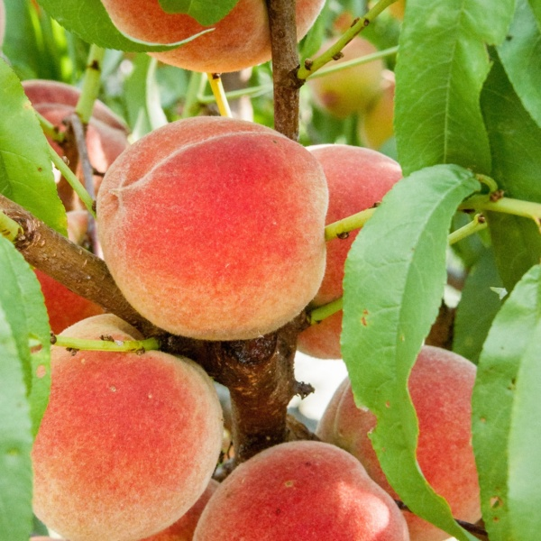 Harvester Peach Tree. Excellent peach. High yields. Produces throughout the summer. Very juicy - great for fresh eating. 750 chill hours. Zones 509.