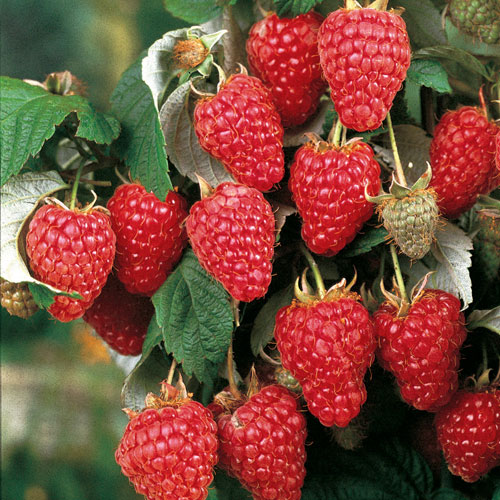Heritage Raspberry. Best upright ever-bearing, large red raspberry on the market. Disease resistant. Late season. Zones 4-9.