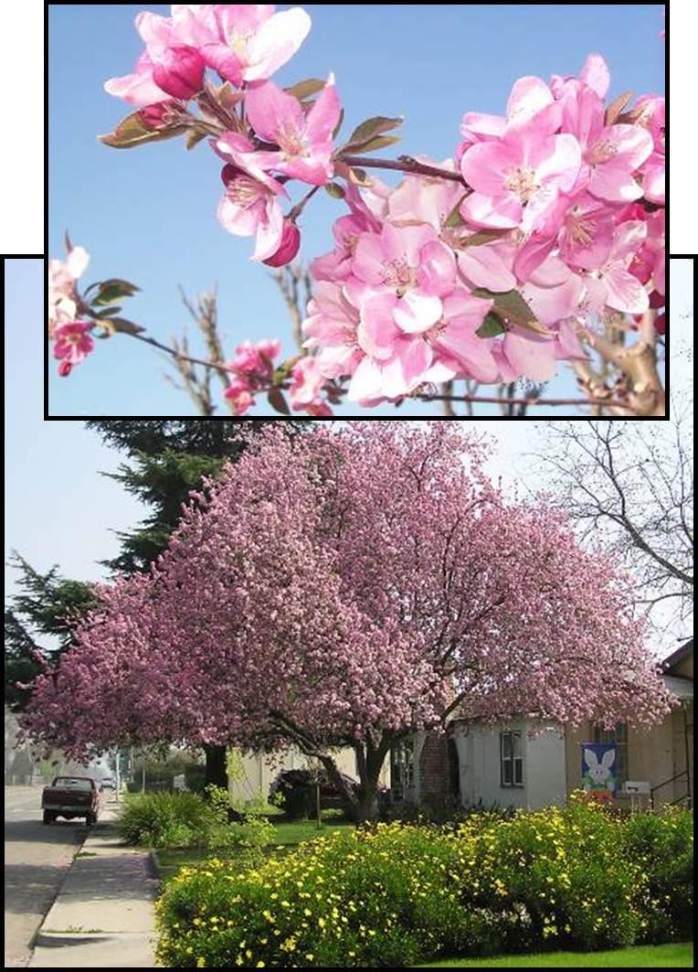 Callaway Crabapple Tree Ison S Nursery Amp Vineyard