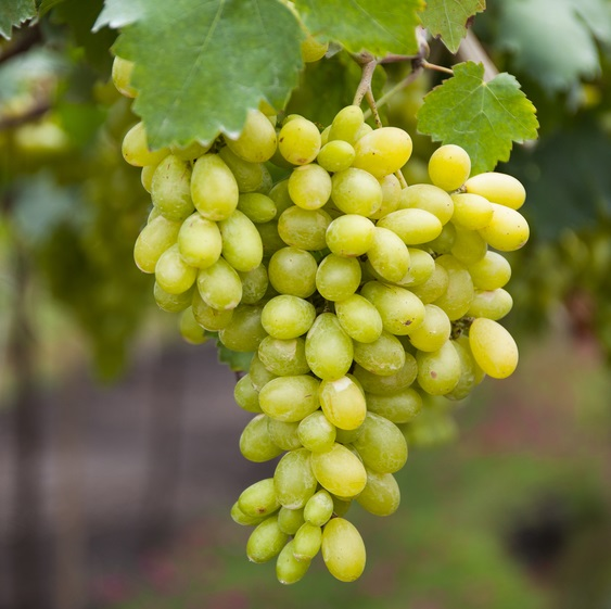 Hope Bunch Grape. Seedless. High yields. Vines can produce from 35-50 pounds per vine. Grapes have outstanding fruity flavor. Harvest mid August. Zones 5-8.