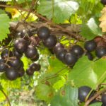 Hunt muscadine. Black female. Medium size, large clusters. Cold hardy. Great for jellies.