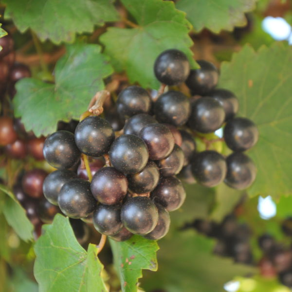 The Carlos Muscadine is the standard for red muscadine wine