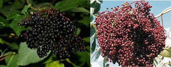 Elderberry. Sold as a pair. John and Adams. Ripens in August. Zones 3.