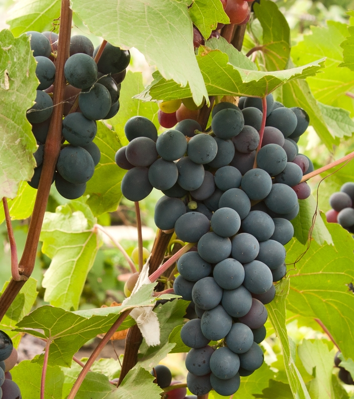 Joy Bunch Grape. Seedless. Medium size. Ripens early season. Large cluster with sweet grapes. High yields. Zones 6-8.