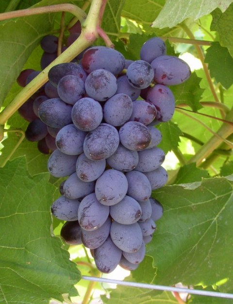 Jupiter Bunch Grape. Seedless. Large grapes on medium to large clusters, Muscat flavor. Zones 5-8