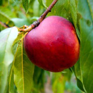 Nectarine Trees