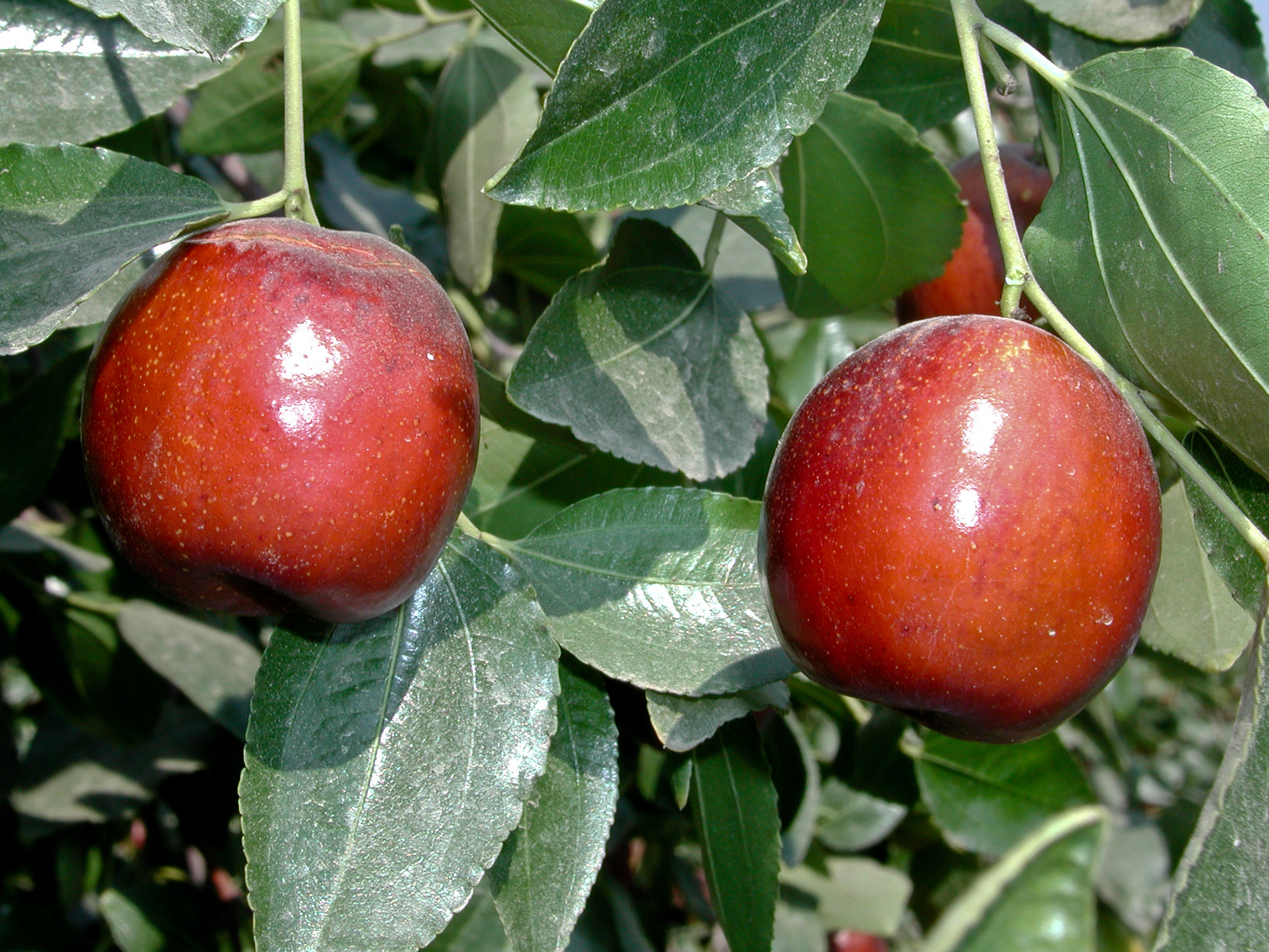 Li Jujube Tree. The number one seller. 1½ inches long, round-plump. Ripens: Fall, mid season, 150 chill hours. Zones 5-10.