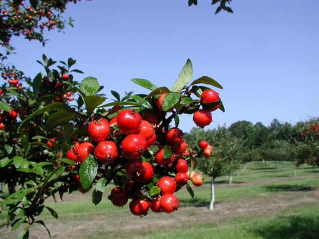 Texas Star Mayhaw. Large custers. Ripens in May. Zones 4-8.